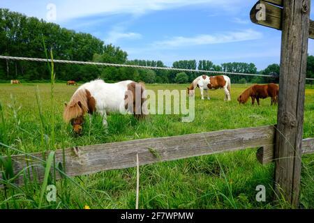 09.05.2020, Mülheim, Ruhrgebiet, Nordrhein-Westfalen, Deutschland - Pferde auf einer Weide in Muelheim-Saarn Stock Photo