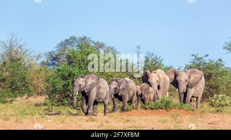 Small group of African bush elephants walking in savanah in Kruger National park, South Africa ; Specie Loxodonta africana family of Elephantidae