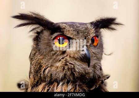 Eurasian Eagle Owl (Bubo bubo), GER