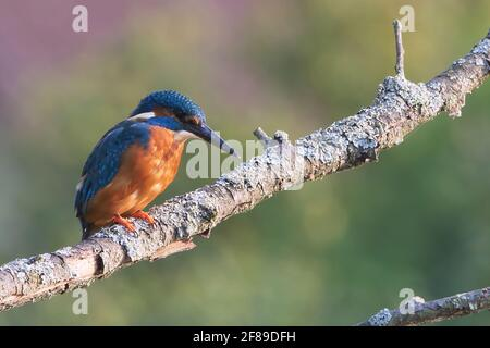 Common kingfisher or Eurasian kingfisher sitting on a branch (Alcedo atthis)