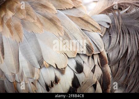 Common Crane, Grus grus, big bird in the nature habitat, Lake Hornborga, Sweden. Wildlife scene from Europe. Grey crane with long neck. - Stock Photo