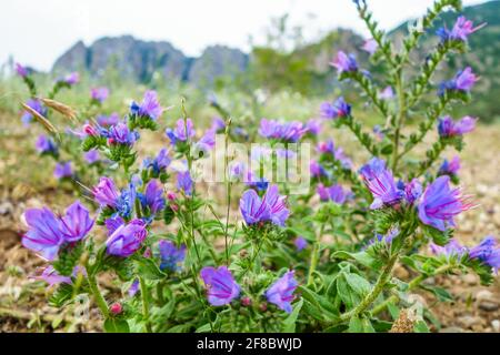 Flowers of Purple Viper's Bugloss or Paterson's curse during their blossom period. Plant belong to Echium species - Stock Photo