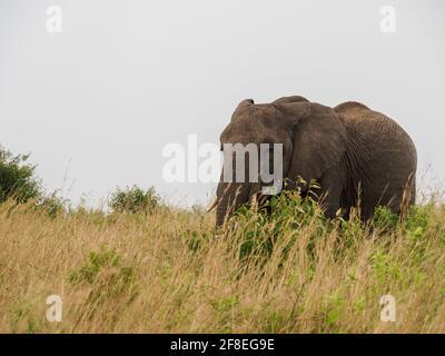 Masaai Mara, Kenya, Africa - February 26, 2020: African elephants in tall grass on Safari, Masaai Mara Game Reserve