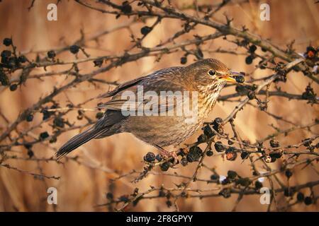 A juniper thrush on a juniper branch in evening light mood with beautiful bokeh