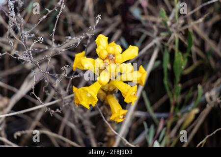 Cistanche phelypaea or Cistanche phelipaea is a species of plant in the family Orobanchaceae. It has a wide range of distribution from the Arabian Pen