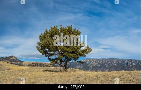 Stone pine tree growing in the soil of the American Rocky Mountains.