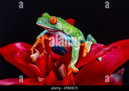 A Red-eyed Leaf Frog, Agalychnis callidryas, on a red bromeliad inflorescence.  These frogs are primarily nocturnal, sleeping during the day.