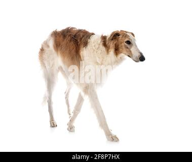 young borzoi in front of white background