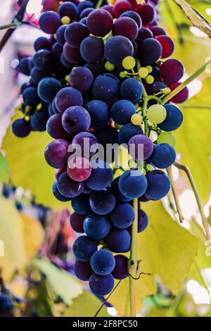 concord grapes hanging on the vine - Stock Photo