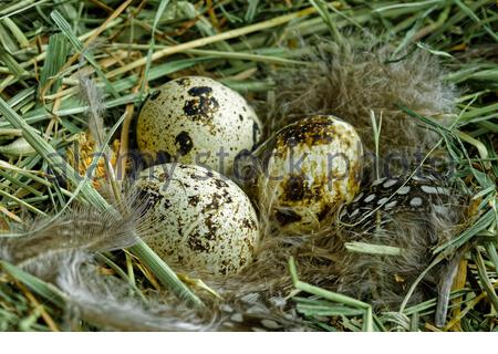 Close up of three quail eggs lie in a nest of dry grass. Stock Photo