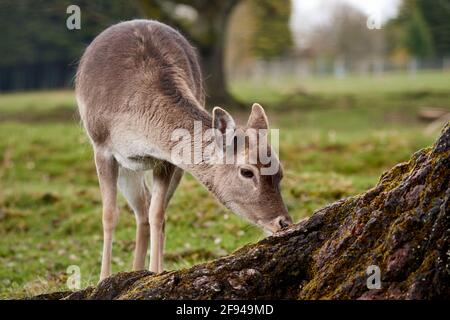 Fallow deer (Dama dama) doe grazes on green pasture, closeup.