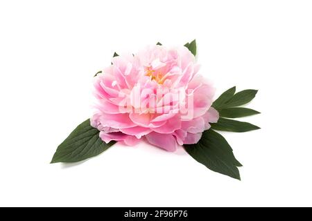 Pink peony flower isolated on white background. Closeup. Copy space.