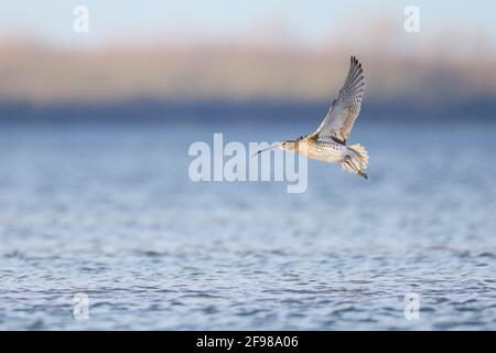 Curlew, Numenius arquata, in flight - Stock Photo