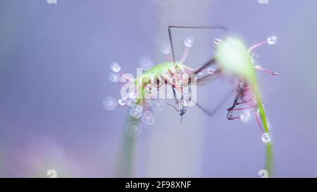 Sundew with prey, photographed with a macro vintage lens