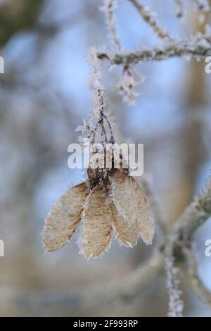 Fruits of the sycamore maple (Acer pseudoplatanus) with ice crystals Stock Photo