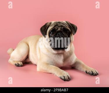 Cute Pug dog sitting on pink background. - Stock Photo