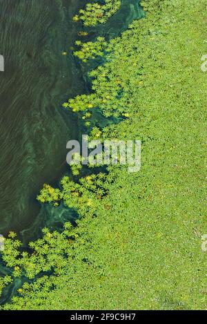 Pollution of the water surface of the earth, green algae gradually cover the surface of the flowering water on the river. Vertical image, copy space.