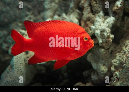 Garibaldi damselfish (Hypsypops rubicundus) swims in aquarium. Stock Photo