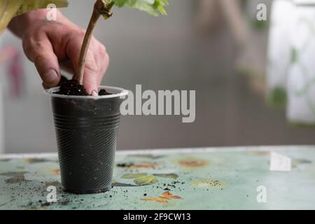 Close-up of a man's hand plants a grape seedling in the ground. Place for your text. High quality photo - Stock Photo
