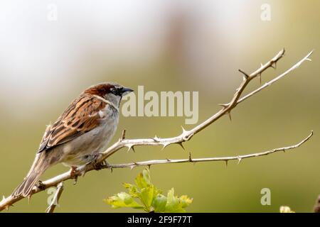 Male house sparrow sitting on a branch in the sun looking into negative space for a caption, if required