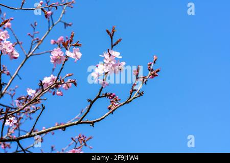 Prunus sargentii a springtime flowering cherry tree plant with pink flower blossom in the spring season which is commonly known as Sargent's cherry, s