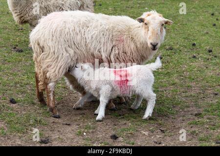 A ewe feeding her lambs.