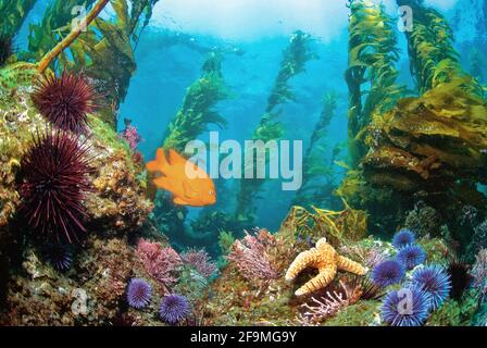 Garibaldi fish (Hypsypops rubicundus) swimming in the kelp forest with Starfish, Channel Islands of California. - Stock Photo
