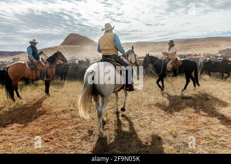 WY04135-00...WYOMING - Cowboys and Cowgirl at a cattle round  up on the Willow Creek Ranch.
