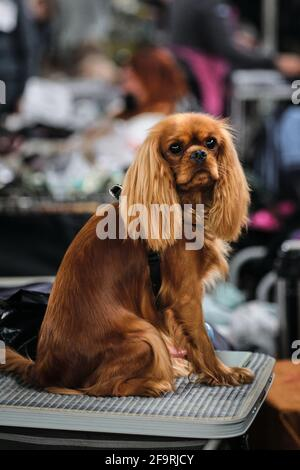 Red cavalier King Charles Spaniel sits on a grooming table and waits posing. Portrait of a thoroughbred dog from a dog show close-up.