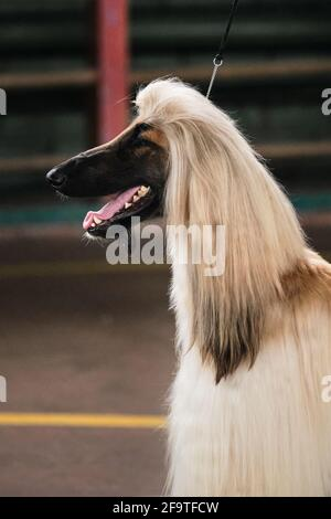 Portrait of an Afghan greyhound in profile. Dog show. A light-colored greyhound with long, fluffy ears and a black muzzle and a protruding tongue.