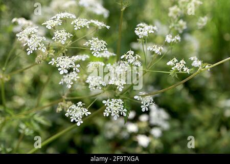 Ammi majus / Bishop's weed Stock Photo