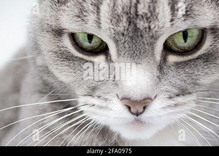 Close up of a gray furry tabby cat with green eyes and a pink nose looking into the frame. Stock Photo