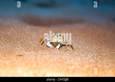 Ghost Crab with a cluster of eggs. Yellow sand on the beach at night. Brazilian 'guruça' crab.