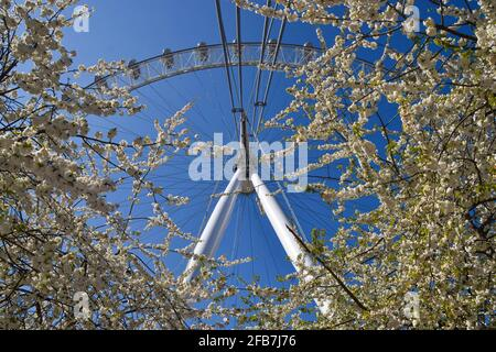 London, United Kingdom. 23rd April 2021. The London Eye and cherry blossom trees on a warm, clear day. Credit: Vuk Valcic/Alamy Live News