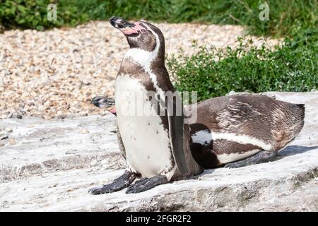 Humboldt penguin, Spheniscus humboldti, close up of two adults at breeding rookery, Chile