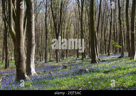 Bluebell wood in rural Sussex, United Kingdom.