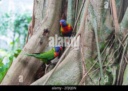 Rainbow Lorikeets (Trichoglossus moluccanus) are a species of parrot found in Australia