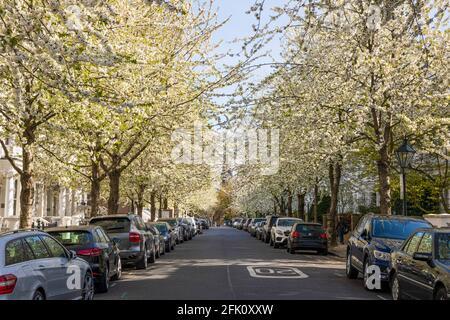 White blossom trees lining the road of Brunswick Gardens W8, London, United Kingdom, Europe