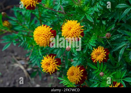 Beautiful bright orange tagetes or Marigold flowers, growing in the garden - Stock Photo