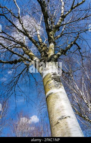 Betula utilis tree in winter with a blue sky which is commonly known as Himalayan Birch and has a white bark, stock photo image