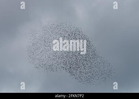 Flock of starlings preparing to roost at dusk