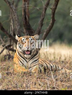 Wild female royal bengal female tiger resting in natural green background at ranthambore national park tiger reserve rajasthan india panthera tigris
