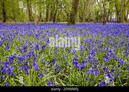 Blue English bluebells (Hyacinthoides non-scripta) flowering in woodland in spring in Surrey, south-east England