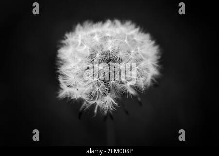 Close up of a dandelion head, Taraxacum, in black and white