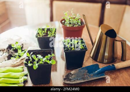 Planting foxglove seedlings in small pots at home. Spring seasonal work. Growing flowers from seeds