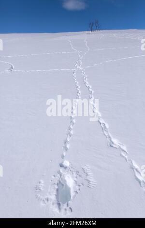 Rock ptarmigan (Lagopus muta / Lagopus mutus) tracks / footprints and imprints of wingtips / wing tips of bird taking off in the snow in winter