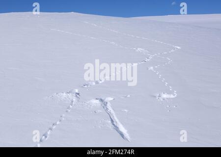 Rock ptarmigan (Lagopus muta / Lagopus mutus) tracks / footprints in the snow in winter