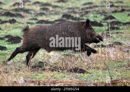 Hunted wild boar (Sus scrofa) running / fleeing over field during battue