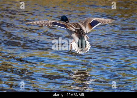 UK Wildlife: Male mallard duck (Anas platyrhynchos) seen from behind gliding as it comes into land on water, River Wharfe, Yorkshire