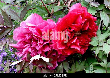 Paeonia suffruticosa 'Double Red' Peony Double Red – ruffled double red flowers and lobed green leaves,  May, England, UK